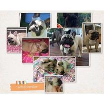 Espectaculares Cachorros Bulldog Frances Machitos Fca