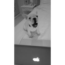 Bulldog Frances Hembra Crema Con F.c.a