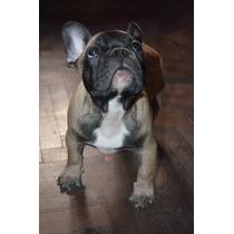 Bulldog Frances Cachorros -seleccion Premium En Lomas Zamora