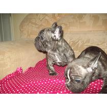 Bulldog Frances,hembra Y Machos Con Fca!!!