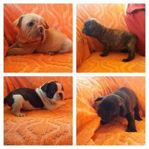 Bulldog Frances, Cachorros Disponibles!!!!