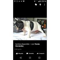 Cachorros Bulldog Francés