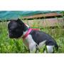 Cachorros Bulldog Frances Hembras Vaquitas!!