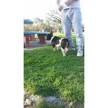 Hermoso Bulldog Frances Servicio De Stud. San Martin Bs As.
