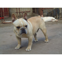 Servicio De Bulldog Frances ,brad Pitt Sirve A Tu Hembra !!!