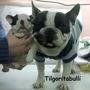 Bulldog Francès Vaquita En Servicio De Stud!!!!!!!!!!!!!!!!!