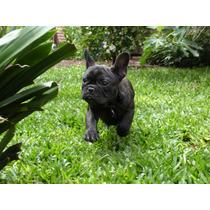Cachorros Bulldog Francés Machos Y Hembras
