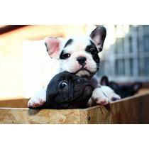 Cachorro Bulldog Frances Hembras .sangre De Campeones-fca-