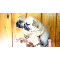 Unicos Bulldog Frances Rojo Fawn Hembra