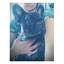 Bulldog Francés Cachorros Hembras $18000
