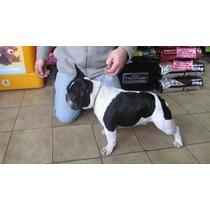 Bulldog Frances Pied En Servicio De Stud