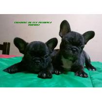 Excelentes Cachorros Bulldog Frances
