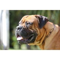 Bullmastiff Cachorros Linea Campeones 15 Años Con La Raza