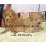 Caniche Hembra Microtoy Envio Gratis 12cuotas S/interes