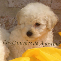 Caniches **miniatura** Machos Y Hembras C/ajuar De Regalo!!!