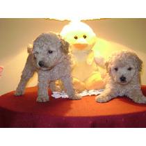 Hermosos Cachorros De Caniches Apricot Micro Toy !!!!!