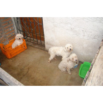 Vendo 2 Hembras Y 1 Macho Caniche Mini Toy Adultos