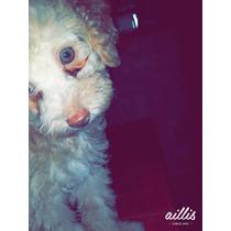Cachorros Caniche Ojos Celestes Rojos Y Apricot
