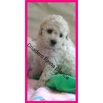 Caniche Toy Hembritas Blancas Con Pedigree