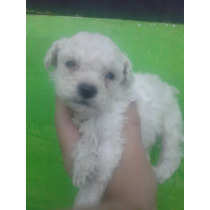 $1800 Vendo Caniche Toy Blanco