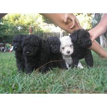 Hermoso Cachorro Macho De Mini Toy Negro