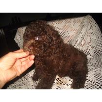 Espectacular Hembrita Caniche Mini Toy Chocolate Escuro
