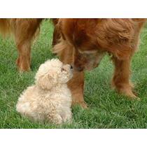 Caniche Mini Micro Toy Macho Cachorros!! (consulte)
