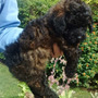 Cachorros Caniche Toy Macho/hembra Marron/negros Zona Norte