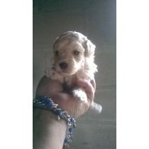 Cachorra Caniche Mini Toy Te Con Leche/ Apricot Hembra