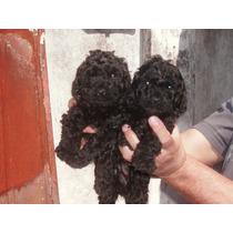 Ultima Caniche Toy Hembra Negra Azabache Lista Para Retirar