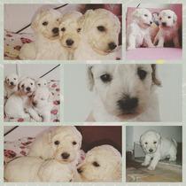 Cachorrita Caniche Toy Blanca Hembra