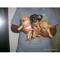 Chihuahuas Mini De Bolsillo Hembras