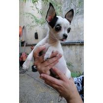 Servicio Chihuahua Bien Pequeño, Excelente Pedigree