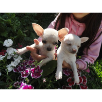 Chihuahuas Mini Blancos Pedigree Fca.cabaña Scalige