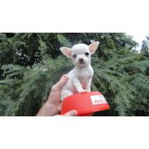 Chihuahuas Mini Blancas - Para Exigentes Cabaña Scaligers -