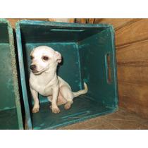 Chihuahua Macho ,blanco,