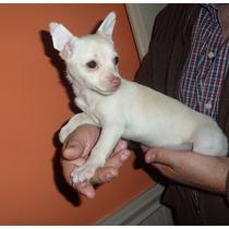 Chihuahuas Hermbras Con Papeles
