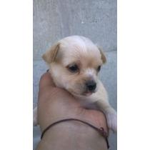 Hermoso Cachorro Chihuahua Mini Mini Macho Pelo Corto Crema