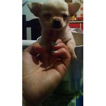 Chihuahuas Cachorritos