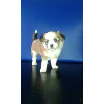 Chihuahua Macho Excelente