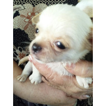 Cachorritas Chihuahuas Mini