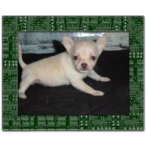 Chihuahuas De Bolsillo Vacunados Y Des. Los Mas Lindos !!!!!