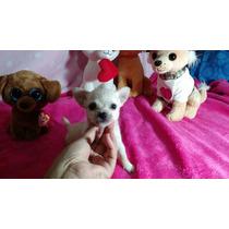 Chihuahua Mini Machitos Fca!