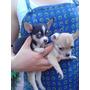 Cachorros Chihuahuas Machos
