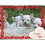 Chihuahuas Blancas De Ojos Celestes Y De Ojos Verdes Unicas