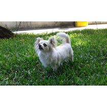 Chihuahuas De Pelo Largo Con Pedigree!