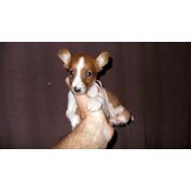Chihuahuas Con Pincher Miniatura Excelentes Para Compañia!!