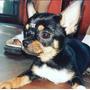 Chihuahua Hembra 6 Meses.