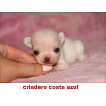 Chihuahua Mini De Bolsillo Criadero Costa Azul