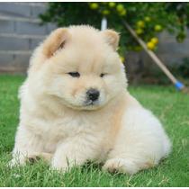 Cachorro Chow Chow Color Crema. Hago Envios!